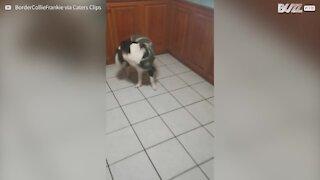 Cachorro brinca de buscar a própria cauda!