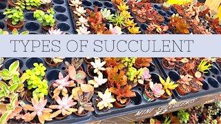 Different type of Succulent