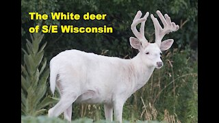 The White Deer of SE Wisconsin