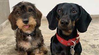 Dachshund torpedos itself into other dog!