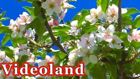 Apples Blossom