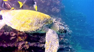 Scuba diver comes face to face with gigantic sea turtle