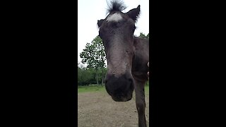 Adorable foals loves hanging out with caretaker