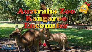 Meet the Kangaroos at Australia Zoo