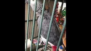Parrot literally dances along to his favorite song
