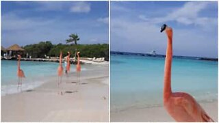 Flamingos chill with tourists in Aruba beach