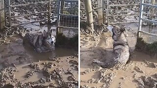 Husky Malamute goes nuts in giant mud puddle
