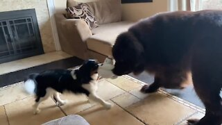 Giant Newfie plays so sweetly with Cavalier puppy