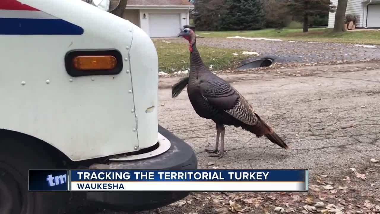 Mailman chased by turkey daily in Waukesha neighborhood