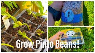 Grow Pinto Beans