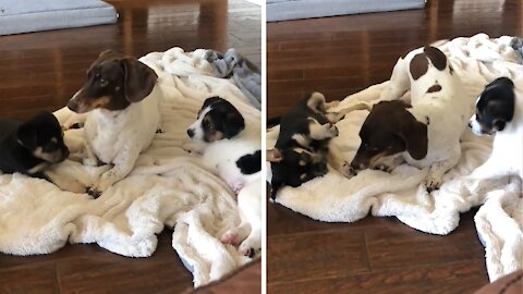 Mini dachshund adorably babysits and entertains foster puppies