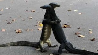 Lizards hug each other passionately