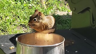 Squirrel eats right out of the pot