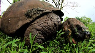 Giant Galapagos Tortoise happily munches away on grass