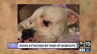 Bobcat attacks dogs