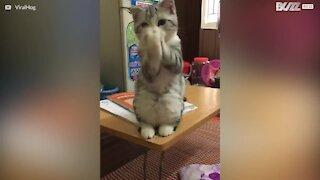 Den søte tiggende katten!