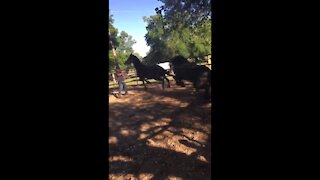 Horse gets kicked by another Horse and Dies