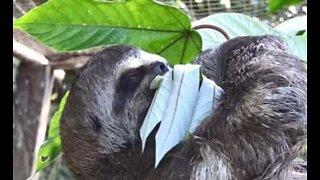 En sengångare äter till och med i en lat stil