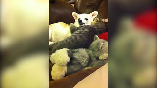 Precious Kitty and Chihuahua are Best Friends