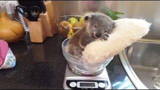 Skjønn koala slapper av på en pute mens han blir veid