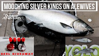 Mooching rods and Alewives for Spring Salmon - Lake Ontario Salmon fishing