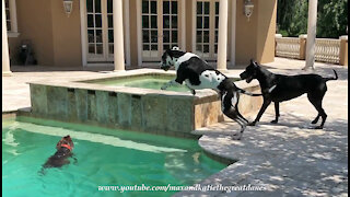 Great Danes Have Pool Party Birthday Fun With German Pointer