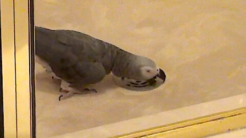 Mischievous parrot apologizes in advance for bad behavior
