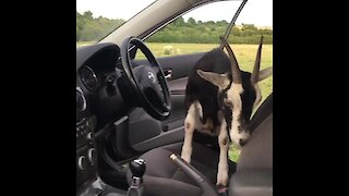 Pet goat wants to drive owner's car