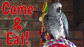 Hospitable Talking Parrot Enjoys Imaginary Dinner
