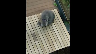 Kitty proves that cats also chase their own tails!