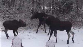 Elgfamilie leker i snøen i Canada