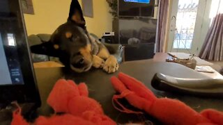 Blind dog incredibly sniffs out his favorite toy