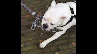 Chain-wielding bulldog is ready for battle
