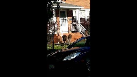 Deer just wandering around the neighborhood