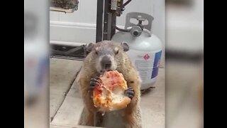 Groundhog caught eating pizza in Philidelphia