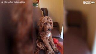 Cachorro rejeita morango como se fosse gente