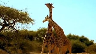 Giraffes fight over female as if they were dancing tango