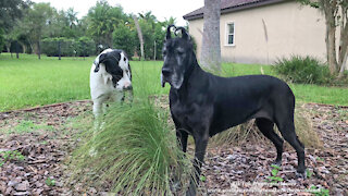 Great Danes graze on the grass just like cows