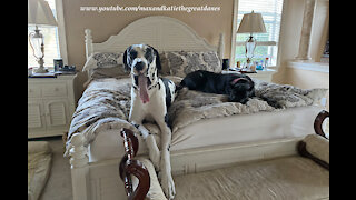 Funny Yawning Great Danes Aren't Ready To Get Out Of Bed