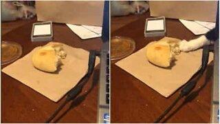 Snikende katt prøver å stjele et brødstykke