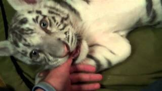 Playing with 2 Baby Siberian Tigers!