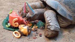 Tortoise celebrates 60th birthday with tasty fruit cake