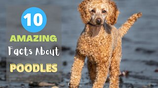 10 Amazing Facts About Poodles -