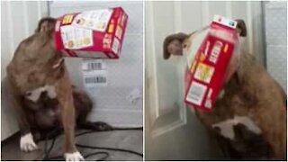 Hund prøver å stjele mat men hodet sitter fast i boksen