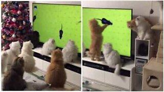 Como entreter durante horas um grupo de gatos
