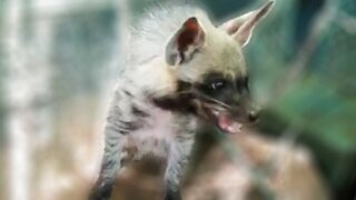 Baby hyena gets scared and makes adorable sounds