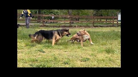 German Shepherd Attacks Pitbull OFF LEASH DOG PARK / Dewasheneth