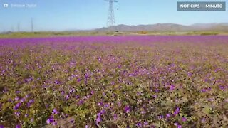 Chuvas enchem deserto de flores no Chile