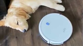 Sleepy dog doesn't let vacuum cleaner interrupt his nap