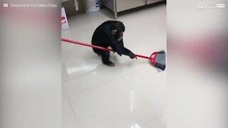 Ce chimpanzé est l'homme de ménage idéal